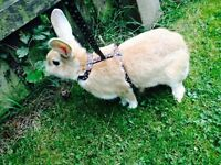 Stunning Palomino Rabbit for sale
