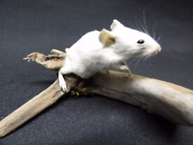 TAXIDERMY White mouse no 130. Standing on natural driftwood.