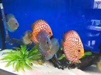 Full Discus set up with fish