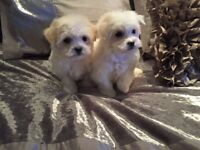 Maltipoo's (Maltese x toy poodle )puppies