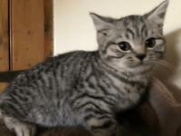 BRITISH SHORTHAIR PEDIGREE KITTENS GIRL AND BOY LEFT