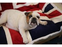 ENGLISH Bulldog puppies,lovely and chunkie,british bulldog vaccinated,ready now,KC REGISTERED