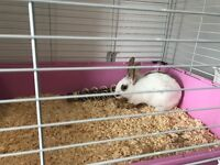 Baby rabbit needs a loving home comes with cage, food, hay and toys!