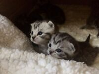 STUNNING! SILVER SPOTTED and SILVER STRIPED, BRITISH SHORTHAIR KITTENS