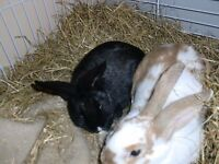 bonded pair of female rabbits with large brand new indoor cage