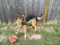 German shepherd dog security friendly quick sale