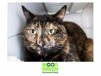 Amber - Domestic (Cat) - 4 Yrs - Looking for a Forever Home
