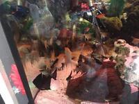6 live angelfish tropical fish