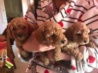 Red toy poodle pups
