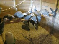 YOUNG GUINEA FOWL KEETS FOR SALE UNSEXED PEARL, PIED & LAVENDER