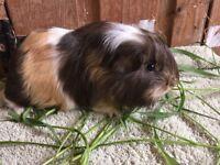 Pretty baby male & female guinea-pigs