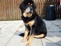 tibetan mastiff pretty girl available
