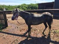 12hh welsh mare
