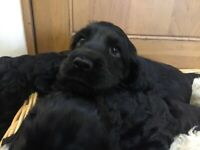 5 gorgeous show type cocker spaniel puppies with excellent pedigree, 3 boys remain.