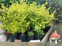 Golden privet hedging plants