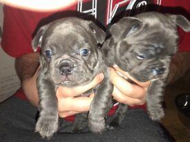2 French bulldog girls