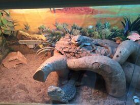 2 Bearded Dragons and Vivarium