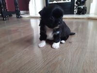 Chihuahua puppy black and white