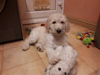 F1bb Goldendoodles 2 Boys and 1 Girl available now