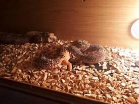 Geckos forsale
