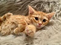 Cute half Bengals kittens