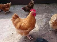 BIG BUFFORPINGTON CHICKEN FOR SALE