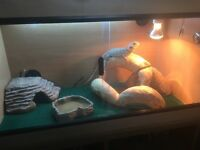 VIVARIUM FULL SET UP 2yr OLD MALE BEARDED DRAGON