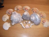 100% genuine Corals, Siphonariidae, Siphonaria (Kerguelenia) Inominata - Sea Shells