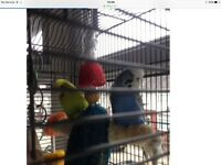 2x very tame chatty budgies and full set up