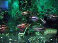 Tropical fish. Kribensis. Aquarium. Fishtank.