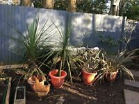 4 x very large garden plants - £30.00