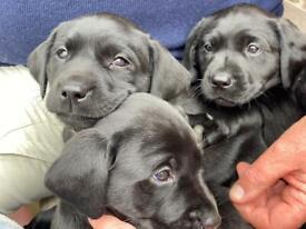 Beautiful litter of black Labrador puppies (good pedigree)