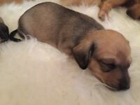 Beautiful Dacshund Puppies For Sale