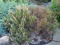 3 × blooming garden plants 8 years old