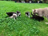 Siamese x Oriental kittens