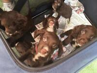 Sprocket spaniel pups 1 boy 4 girls ready to go