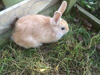 9 week old tri colour buck rabbit