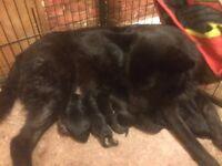 Beautiful Pedigree German shepherd puppies Black and Black and sable Long haired & Semi long