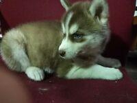 Wonderful dark red and white husky pups