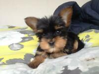 Yorkshire Terrier Dogs Puppies For Sale Gumtree