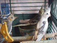 Four mixed cockatiels with free 'box' cage