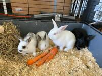 Baby rabbits for sale! £ 40 each