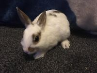 Neutherland dwarf baby rabbits for sale
