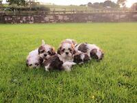SHIH TZU puppies for sale (shihtzu)