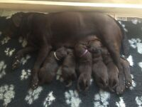 Chocolate Labrador Puppies Kennel Club Registered