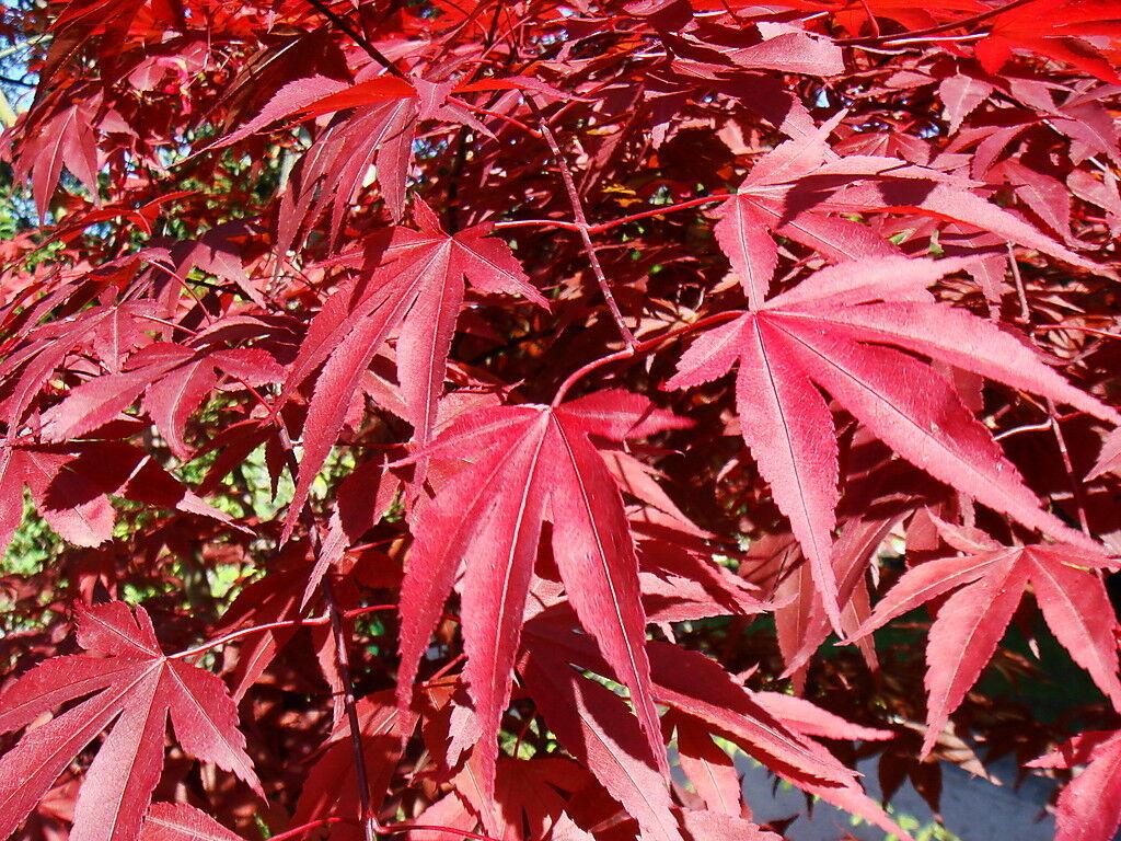Japanese Purple Maple Tree 15 20cm Tall Acer Palmatum Atropurpureum