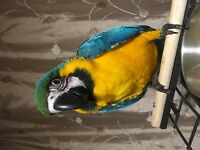 Super tame and awesome blue and gold Macaw