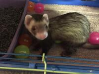 2 male ferrets with cage and accessories