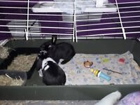 2 baby buns free dbl hutch vacced chipped spayed 10kg food toys the works ! ♡ saving