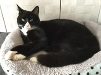Two year old domestic shorthaired cat (Claude) needs loving new home.